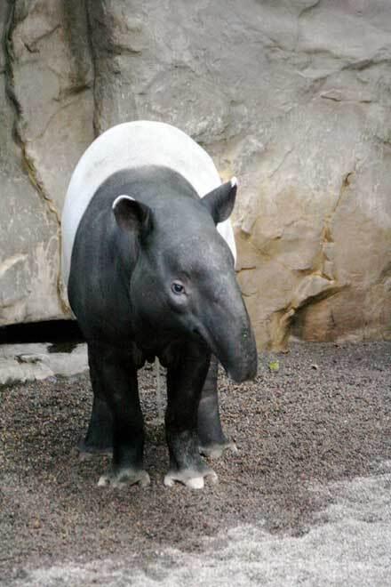 Tapir de Malaisie