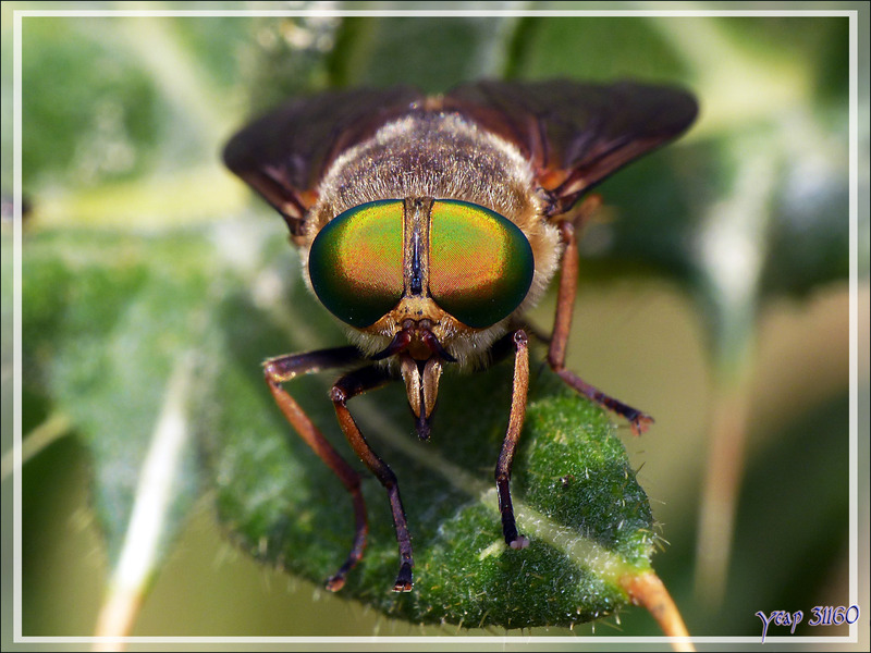 Les beaux yeux du taon Tabanide femelle (Philipomyia sp.) - Artiga de Lin - Es Bordes - Val d'Aran - Espagne