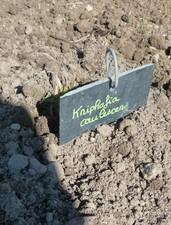 kniphofia caulescens