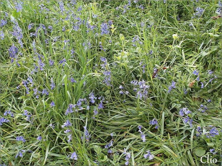 Les aulx et jacinthes sauvages au Mont-Noir