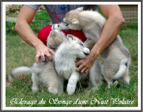 Groupe chiots Huskys (58j)