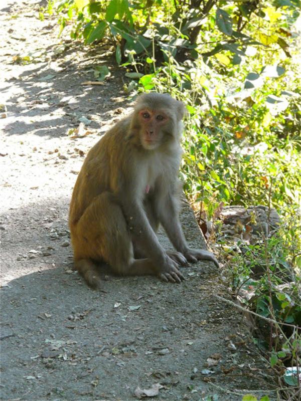 portraits de singes en Inde