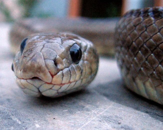 Serpent 6508