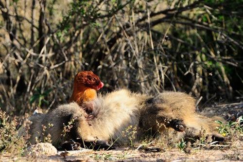 Slender mongoose VS dead batty