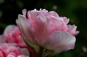Tulipes Angélique3