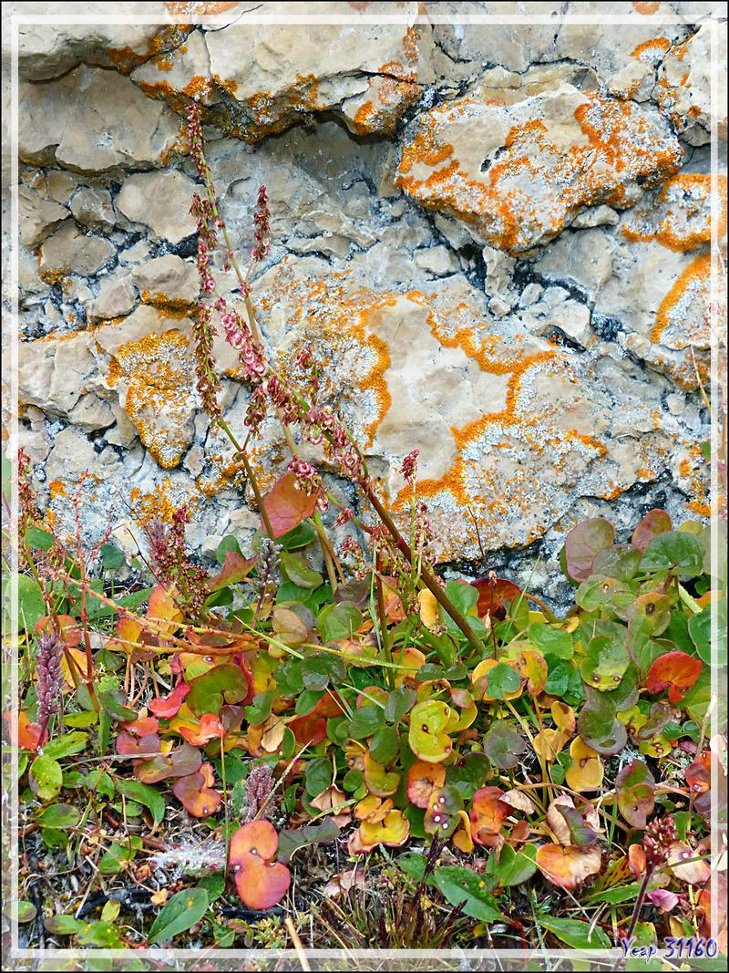 "En descendant, je vais un peu ""herboriser"", ici une Petite oseille ou Oxyrie à deux stigmates (Oxyria digyna) devant un superbe lichen orange - Qariaragiuk - Somerset Island - Nunavut - Canada"