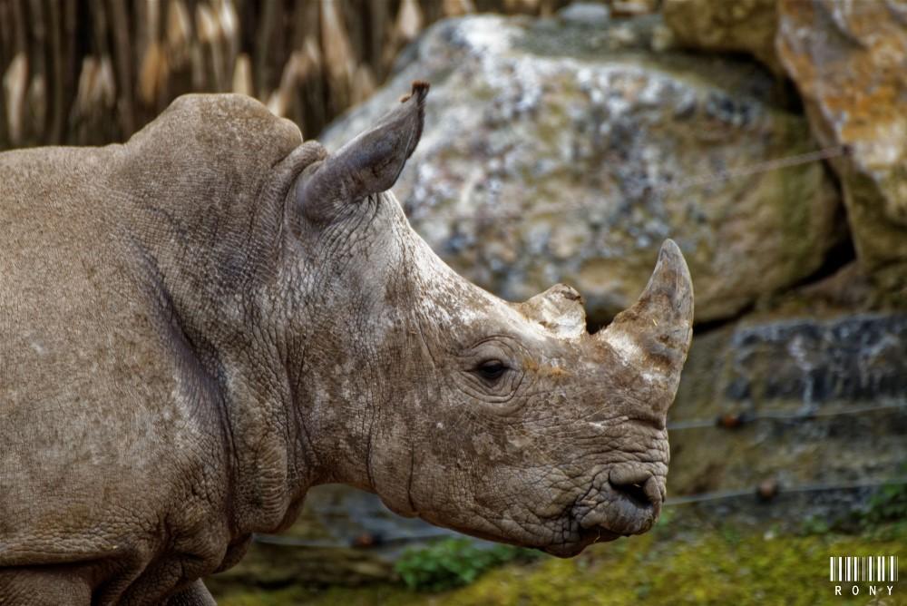 Eléonore et son petit rhinocéros blanc Sethemba (part.3)