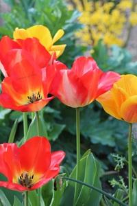 Tulipes ou Tulipa