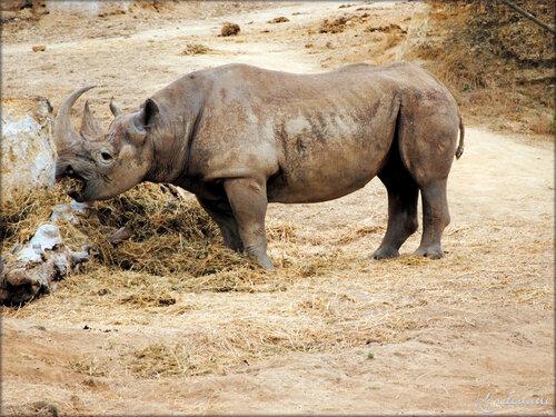 Rhinocéros Noir (Zoo de Doué la Fontaine)