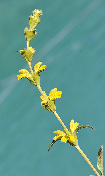 Phlomis lychnite