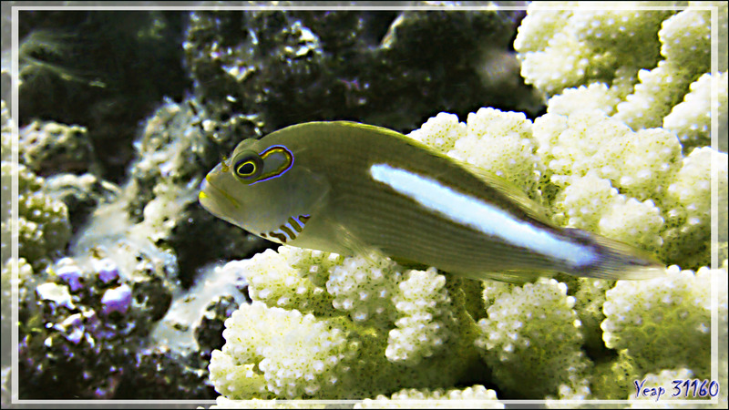 Épervier strié ou à arcade ou Poisson-faucon à tempe annelée, Arc-eye hawkfish or Ring-eye hawkfish (Paracirrhites arcatus) - Passe Tumakohua - Fakarava sud - Tuamotu - Polynésie française