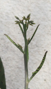 Kalanchoe Daigremontiana va fleurir - 2015