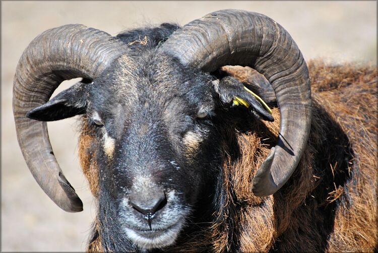 Photo de mouflon du zoo de Bordeaux-Pessac