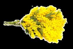 L'or pur des Mimosas ( pour vous apporter un peu de soleil)