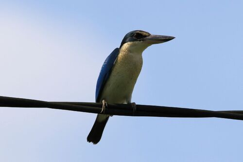 Martin-chasseur à collier blanc (Collared Kingfisher)
