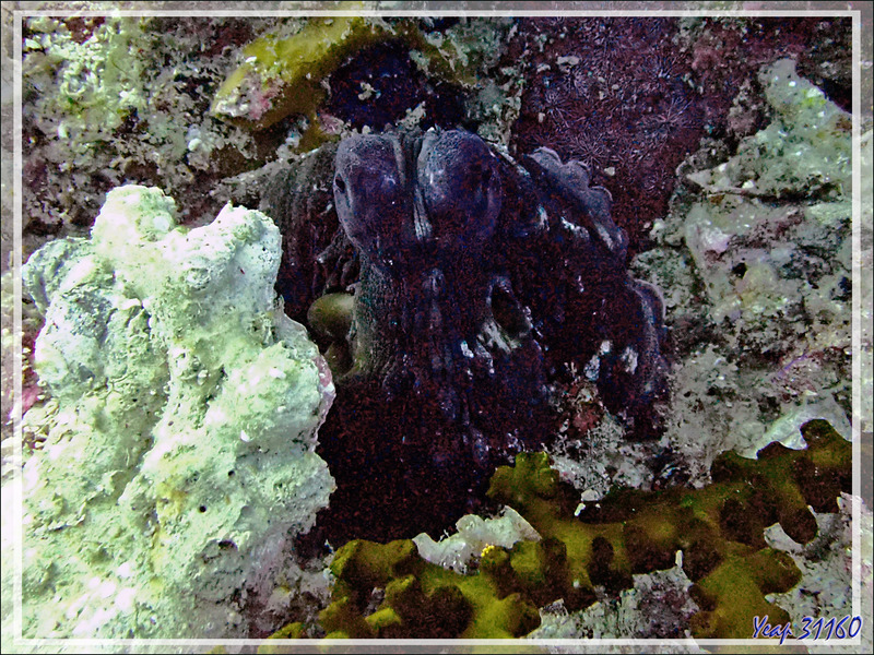 Poulpe de récif commun, Common reef octopus (Octopus cyanea) - Betalinjona (2ème Frère) - Nosy Tsarabanjina - Archipel Mitsio - Madagascar