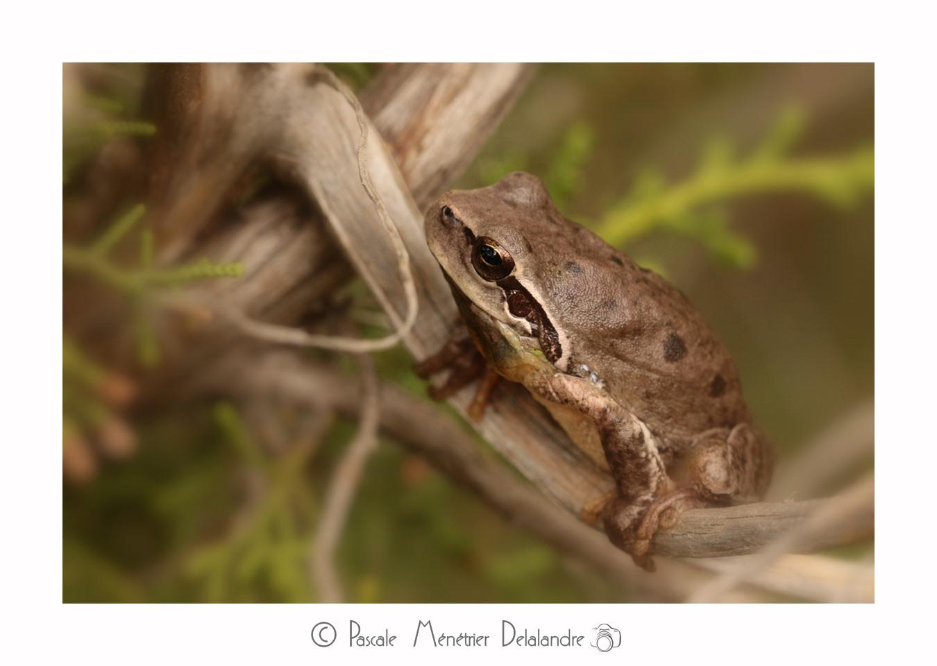 Buisson à Rainettes Méridionales - Hyla meridionalis