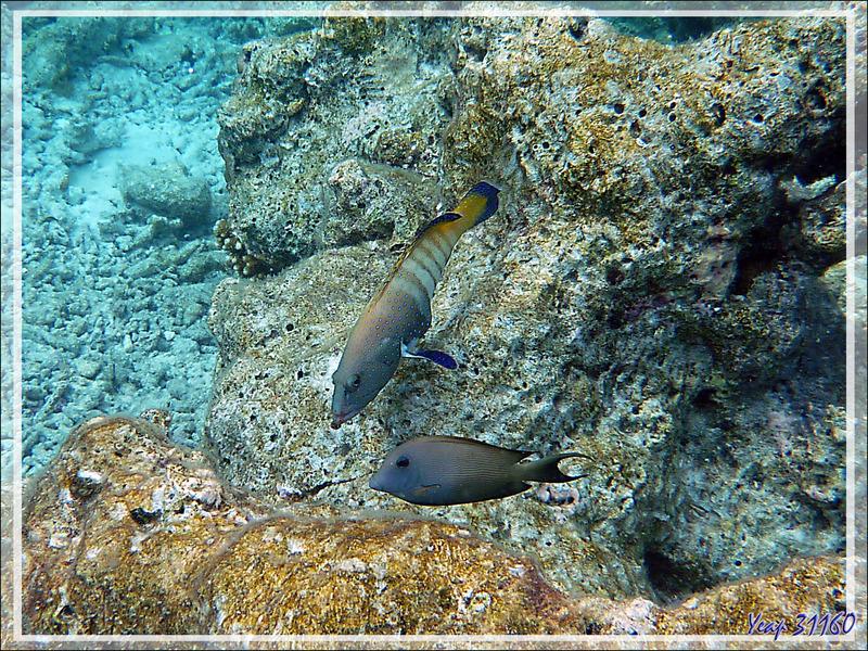 Snorkeling : Mérou paon ou céleste, Vieille cuisinière, Bluespotted grouper (Cephalopholis argus) et Chirurgien strié (Ctenochaetus striatus) - Moofushi - Atoll d'Ari - Maldives