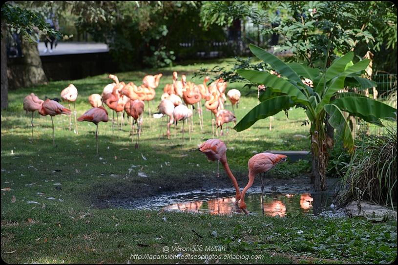 La Ménagerie, Zoo du Jardin des Plantes : Flamant rouge