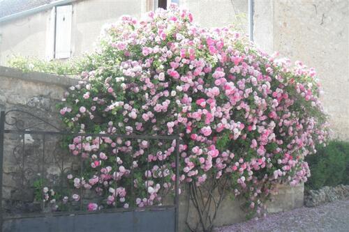Quelques beaux rosiers