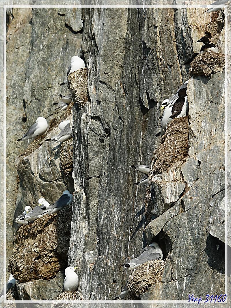 Mouette tridactyle, Black-legged (Kittiwake Rissa tridactyla) - Coburg Island - Baffin Bay - Nunavut - Canada
