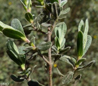 Cistus lasianthus subsp. alyssoides  -  hélianthème faux alysson