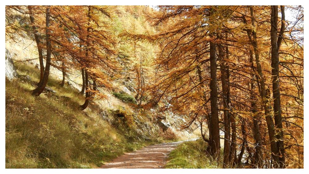 Couleurs d'automne : les mélèzes