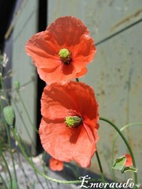 Photo Fleurs, coquelicots - 01.06.11