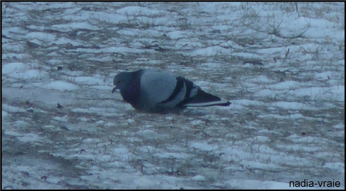 """Des pigeons se nourrissent à -22 degrés. (Communauté """"Les oiseaux"""")"""