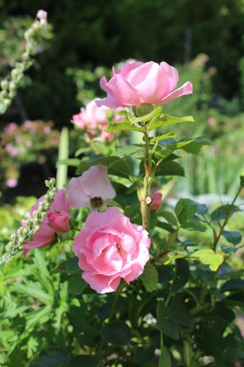 Associations de fleurs au jardin
