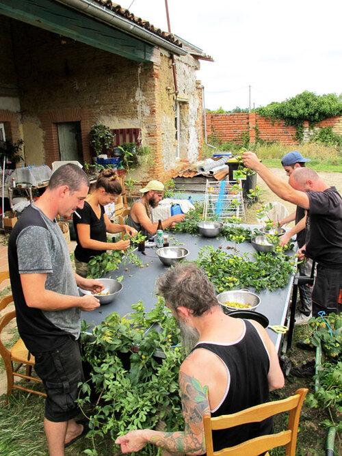 Recolte du houblon Tarn et Garonne