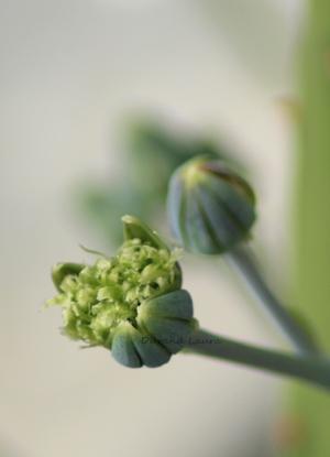 Senecio Mandraliscae - Les fleurs commencent à s'ouvrir