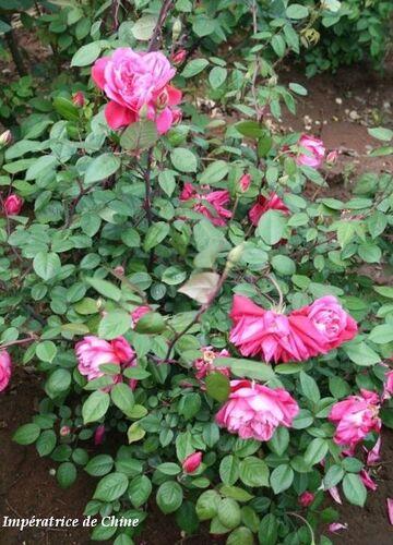 Les Roses de Warren : Impératrice de Chine