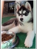 Pouchka (2 mois, chez ses nouveaux propriétaires)
