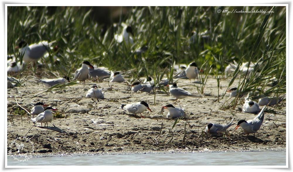 Sterne pierregarin - Sterna hirundo - Common Tern (Charadriiformes)