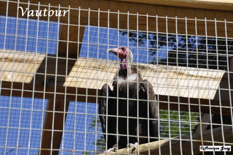 DSC7425-vautour