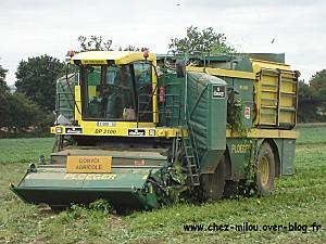 récolte des haricots02