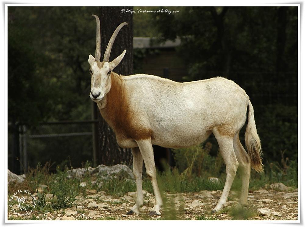 Oryx algazelle