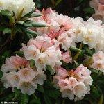 Rhododendron Yak Grumpy