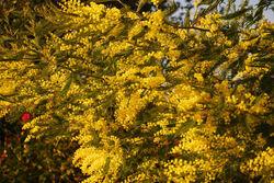 Mimosas Parc aux camélias février 2011