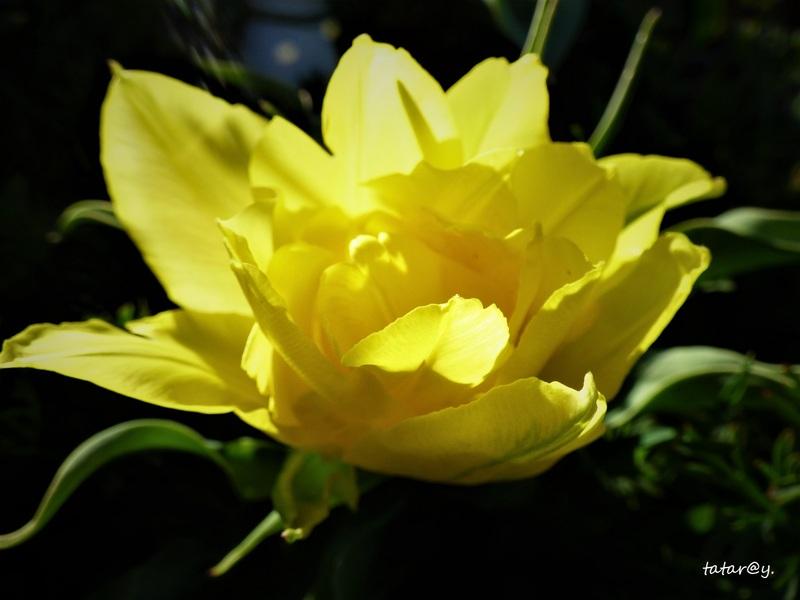 La saison des tulipes  !...