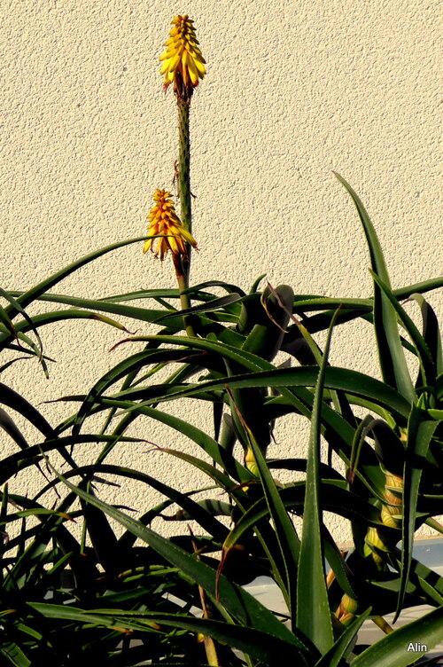 Mur et fleur jaune !