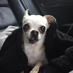 Chihuahua ou suricate?
