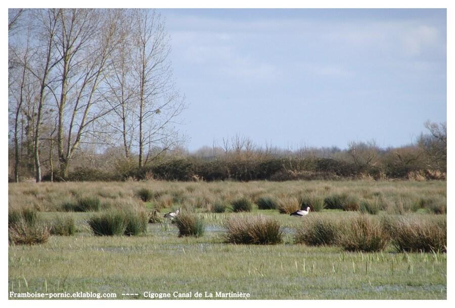 Cigogne au Canal de la Martinière
