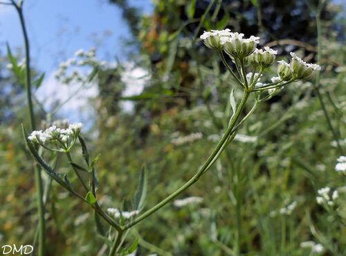 Torilis arvensis  -  torilis des champs
