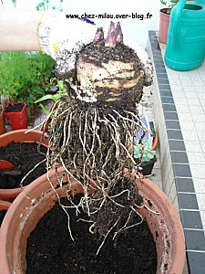 ananas du jardin 10