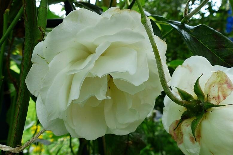 Les rosiers de mon jardin