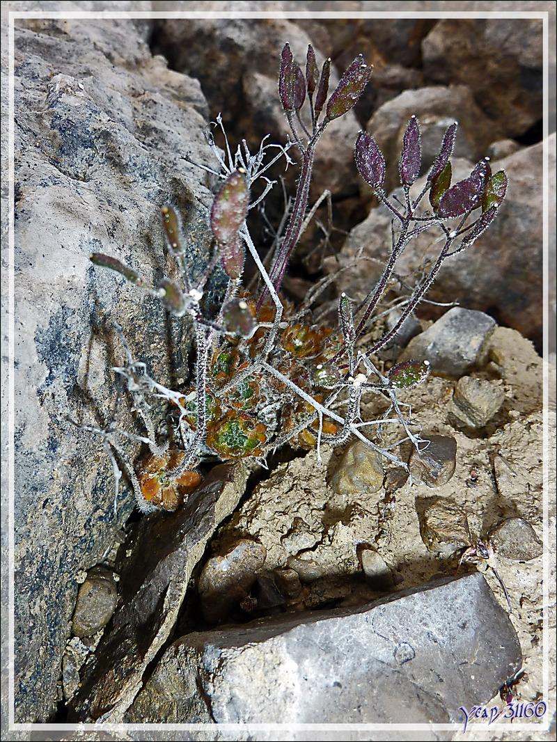 Drave à petits pétales (Draba micropetala) - Beechey Island (Péninsule de Devon Island) - Nunavut - Canada