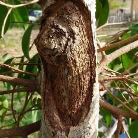 Rempotage d'un Ficus benjamina