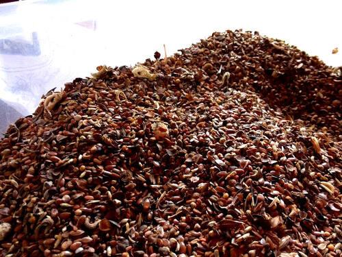 préparation de graines pour semis à la volée